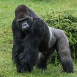 Gorilla in grass royalty free stock image