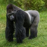 Gorilla in grass royalty free stock photography