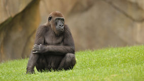 Gorilla on green grass Stock Photography