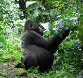 Gorilla in green vegetation Stock Image