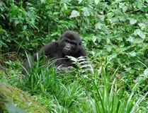 Gorilla in green vegetation Stock Photography