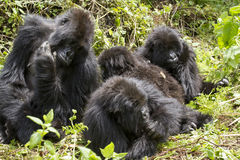 Gorilla group stock images