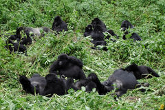 Gorilla group in the wilderness stock photography