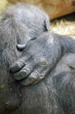 Gorilla hand Stock Photography