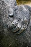 Gorilla hand Royalty Free Stock Images