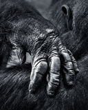 Gorilla Hand. Closeup of a Hand from a Western Lowland Gorilla Stock Image