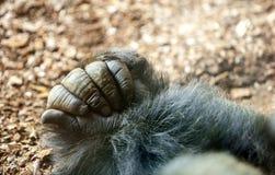 Gorilla hand Stock Images