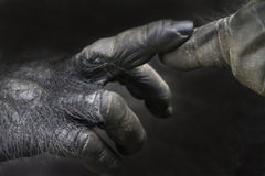 Gorilla hands Stock Images
