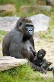 Gorilla and her baby. Close-up of a mother gorilla and her cute baby Stock Photos