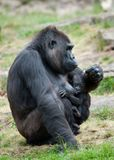 Gorilla and her baby Stock Photography