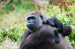 Gorilla and her baby. Close-up of a mother gorilla and her cute baby Royalty Free Stock Image