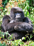 Gorilla and her baby Royalty Free Stock Photos