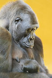 Gorilla with her young portrait Stock Photos