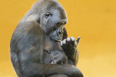 Gorilla with her young portrait Stock Photography