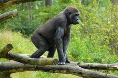 Gorilla heraus im wilden Stockfotos