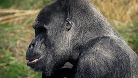 Gorilla het kauwen het voedsel staat op en gaat weg stock video