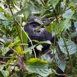 Gorilla in het rainfbos van Oeganda, Afrika Stock Foto's