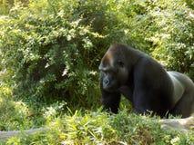 Gorilla het wandelen Royalty-vrije Stock Foto's
