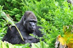 Gorilla Hidding im Dschungel Lizenzfreies Stockfoto