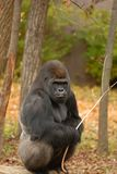 Gorilla And His Stick stock afbeeldingen