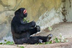 Gorilla, Hominiden Lizenzfreie Stockfotos