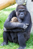 Gorilla Hug. This gorilla hugs her teddy bear while gazing at the viewer Stock Photo