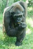 Gorilla i det löst Royaltyfri Foto