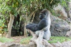 Gorilla i Loro-Parque tenerife spain Royaltyfria Foton