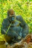 Gorilla i naturKongofloden Arkivfoto