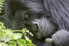 gorilla arkivfoton