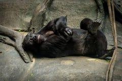 Gorilla im Affenhaus an Brookfield-Zoo Lizenzfreie Stockfotos