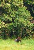 Gorilla im Dschungel im Kongo Lizenzfreie Stockbilder