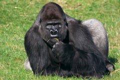 Gorilla im Gras Stockbilder