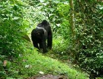 Gorilla im Regenwald Stockfotos