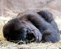 Gorilla im Ruhezustand Lizenzfreie Stockfotos