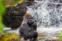 Gorilla im Wasser mit seinen Händen kreuzte lizenzfreie stockfotos