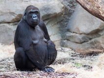 Gorilla im Zoo, der Kamera betrachtet Stockfoto
