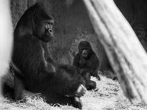 Gorilla im Zoo, der Kamera betrachtet Lizenzfreie Stockbilder