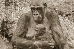 Gorilla. It is image of gorilla with baby Royalty Free Stock Image