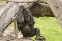 Gorilla. It is image of young gorilla in zoo Stock Photography