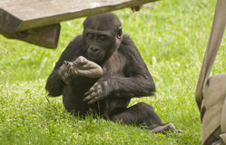 Gorilla. It is image of young gorilla in zoo Royalty Free Stock Image