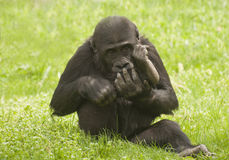 Gorilla. It is image of young gorilla in zoo Royalty Free Stock Photography