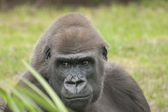 Gorilla. It is image of gorilla in zoo Royalty Free Stock Photos