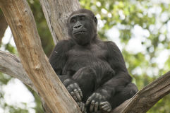 Gorilla. It is image of gorilla in zoo Royalty Free Stock Photo