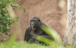 Gorilla. It is image of gorilla in zoo Royalty Free Stock Image