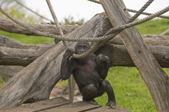 Gorilla. It is image of gorilla in zoo Royalty Free Stock Photography