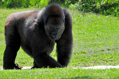 Gorilla In A Zoo Royalty Free Stock Image