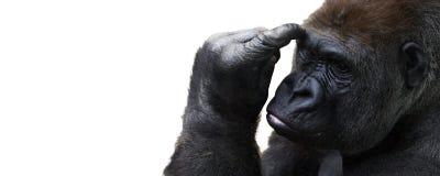 Gorilla isolata che pensa con la stanza per testo immagine stock libera da diritti