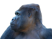 Gorilla isolata con priorità bassa bianca Fotografie Stock Libere da Diritti