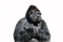 Gorilla isolated in white. Huge gorilla perfectly happy with a carrot Stock Photos
